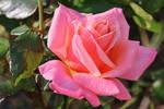 Rose Stock 16