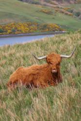 Scotland Stock 383