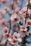 Almond Blossom Stock 05 by Malleni-Stock