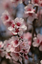 Almond Blossom Stock 04 by Malleni-Stock