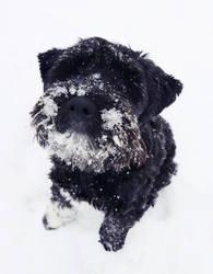 Snow Schnauzer by HannahCombs