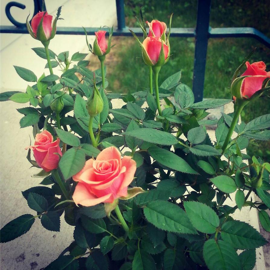 Birthday Rose by SilverDragon2050
