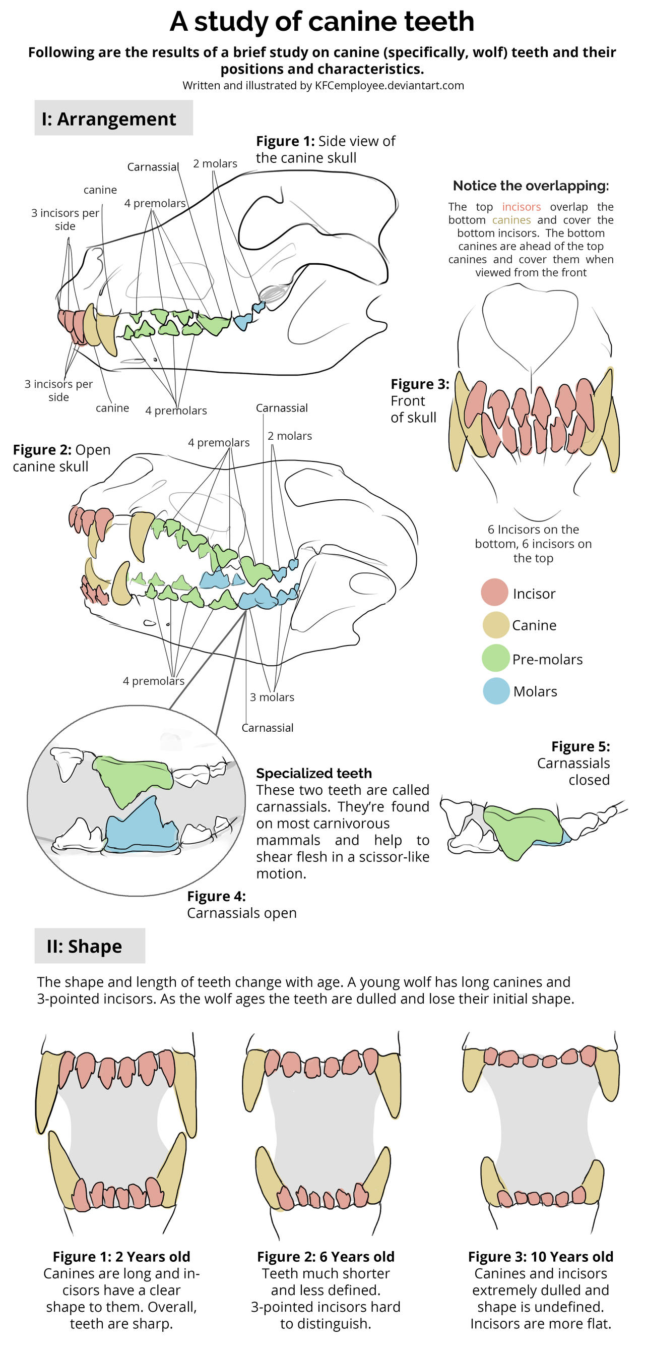 Canine teeth study by KFCemployee on DeviantArt