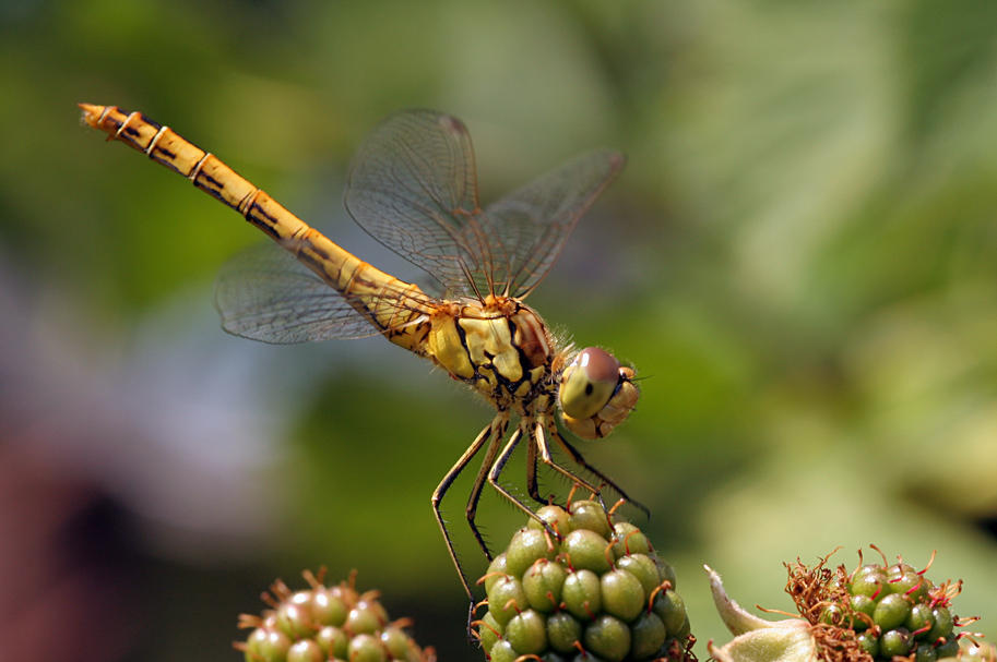 Dragonfly on blackberries