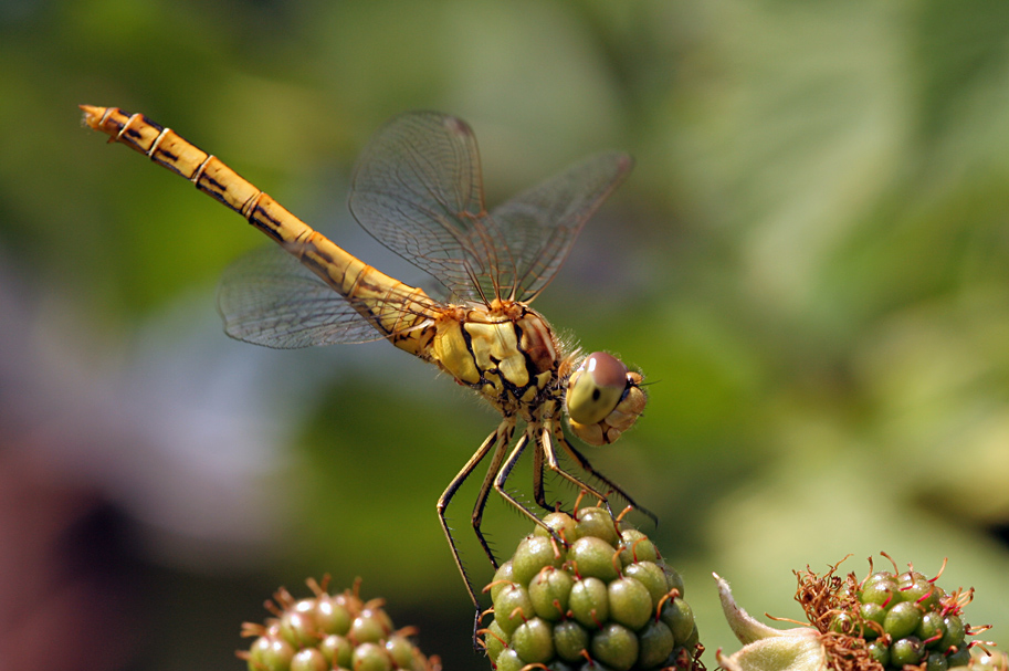 Dragonfly on blackberries by marble911
