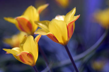 Tulip dance in blue
