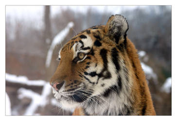 Zoo Animals in the Snow_Tiger by marble911