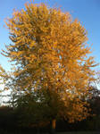 Autumn Maple Tree by WDWParksGal