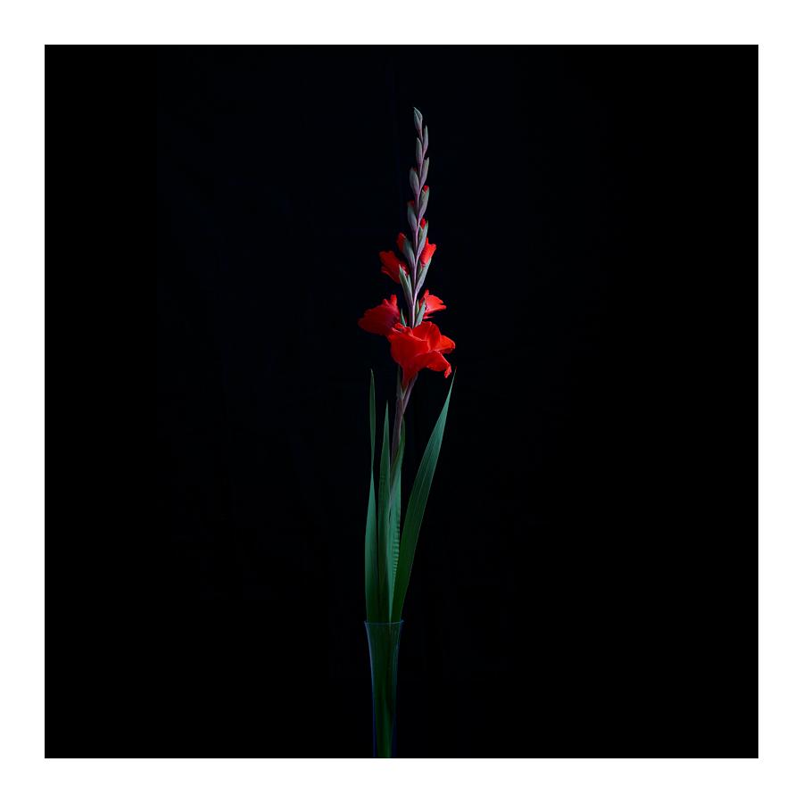 Gladiolus by vamosver