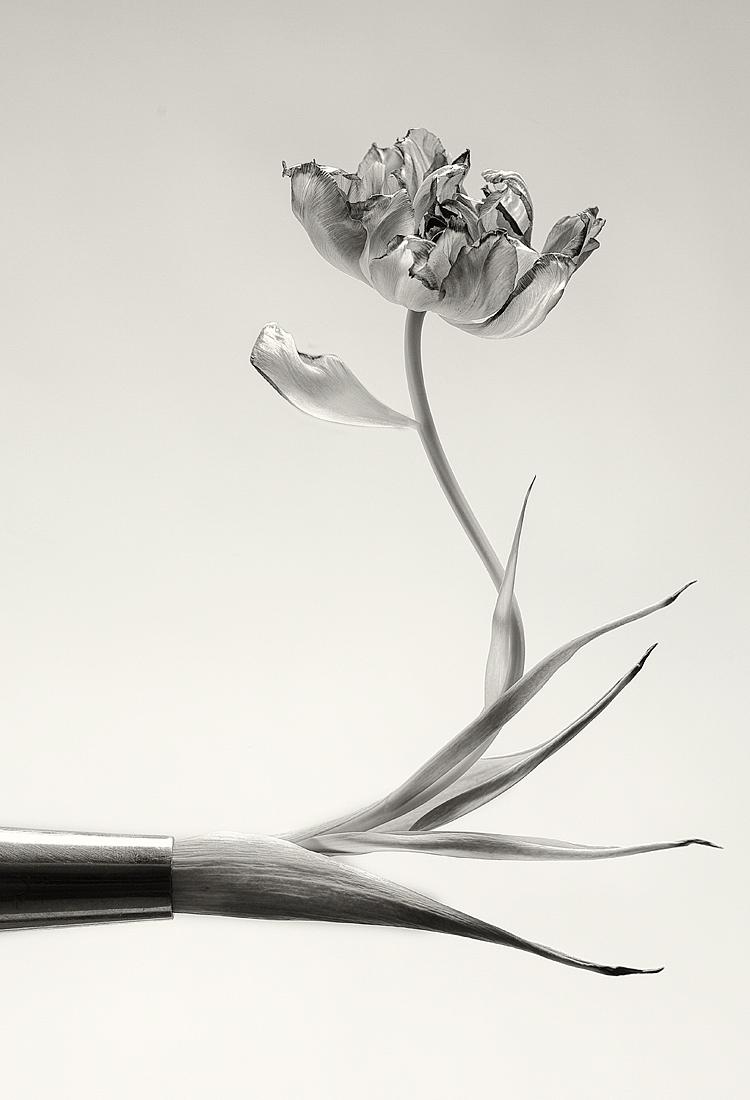 Tulipation by vamosver