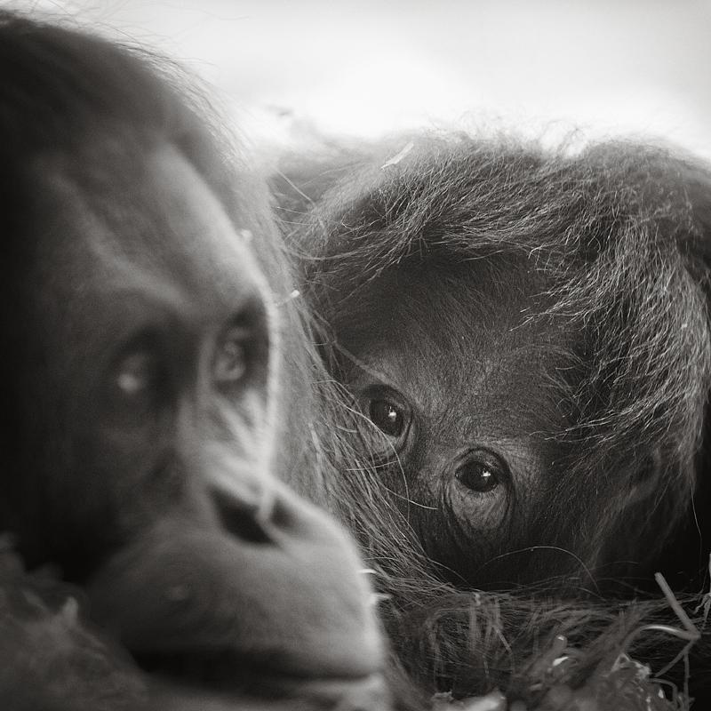 Orangutans by vamosver