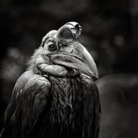 Abyssinian Ground Hornbill by vamosver