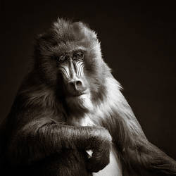 Portrait of a Mandrill by vamosver