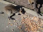 Peanut-loving Wallaby