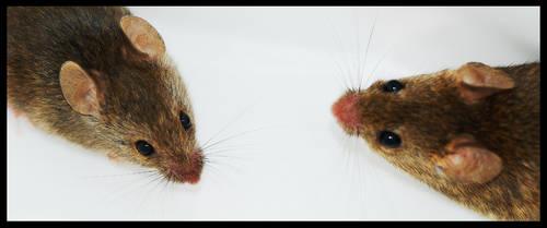 my stray mice