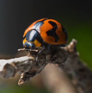 mr ladybug