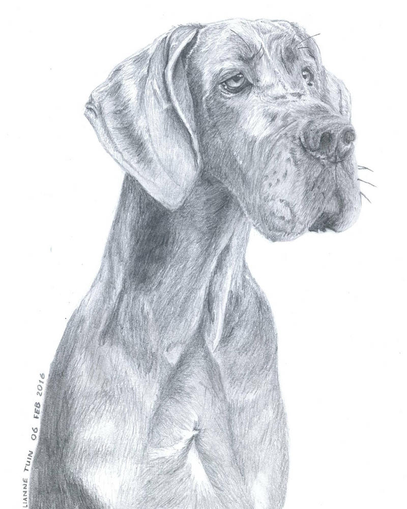 Great Dane Drawing by LianneTuin