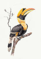 Great Hornbill by zephyrxavier