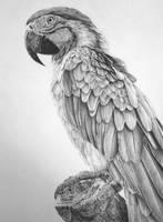 Macaw by zephyrxavier