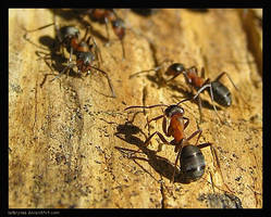 Ants by Katarynaa