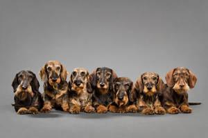 The dachshund army