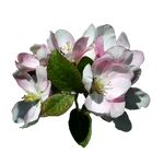 Apple Blossoms 3 Stock, Isolated PNG