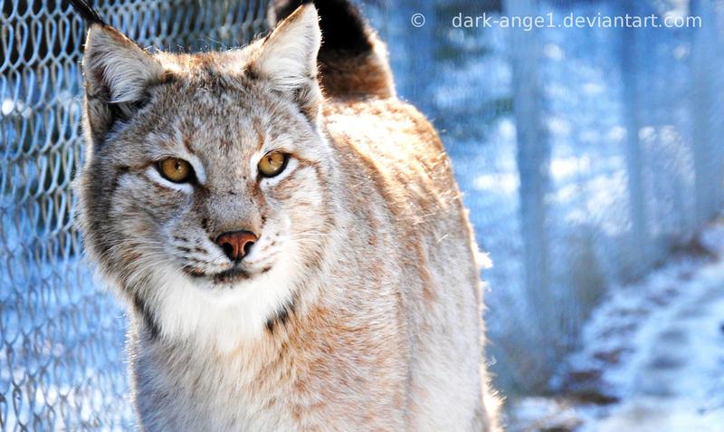 Lynx, Kingdom of Ice by Dark-Ange1
