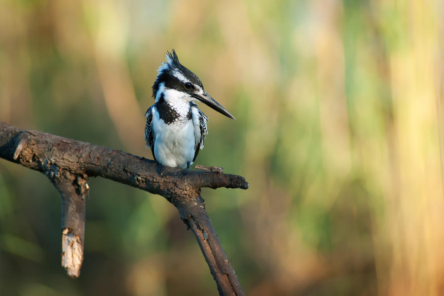 Pied Kingfisher by rat-or-rat