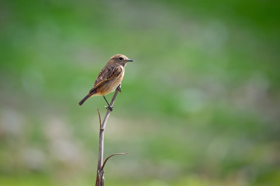 Stonechat by rat-or-rat