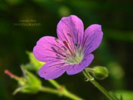 Wild geranium by Lunnika-Horo