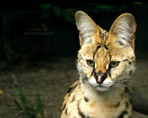 Serval          [PRINT WITHOUT WATERMARK]