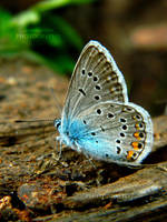 Polyommatus by Lunnika-Horo