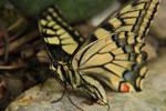 Macro: Papilio Machaon by Lunnika-Horo