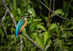 Kingfisher by Lunnika-Horo