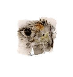 Hawk by rokkihurtta