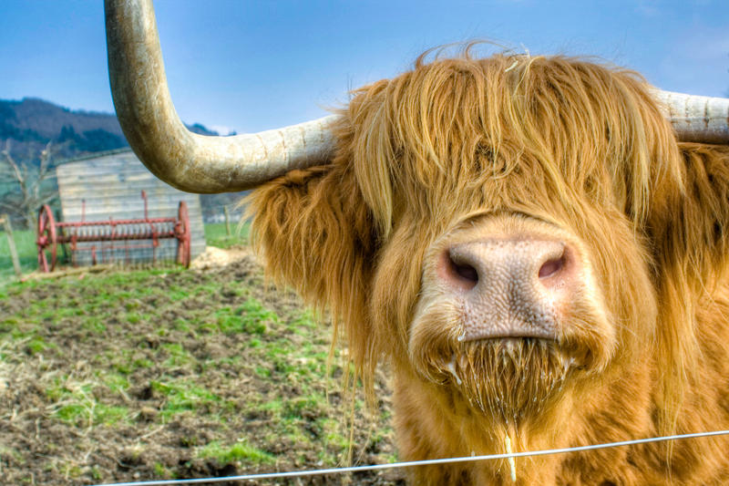 Highland coo by wulliamwallace