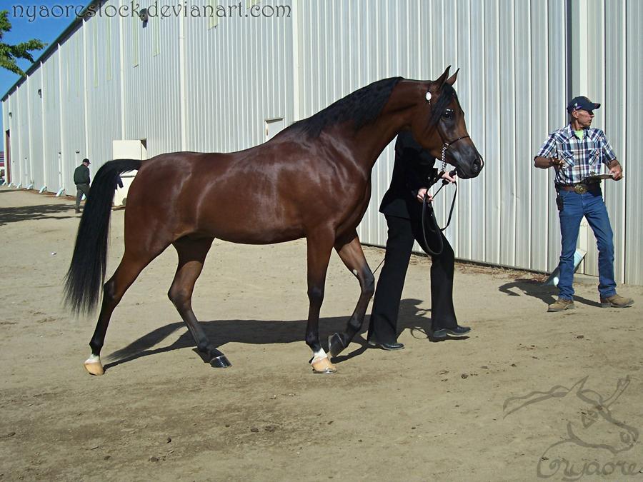 Rancho Murieta 08 - Halter 19 by Nyaorestock