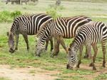 Africa - Zebra 1