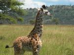 Africa - Baby Giraffe