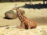 Oakland Zoo - Giraffe 04 by Nyaorestock