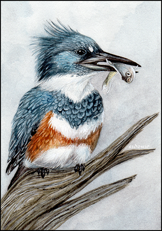 Belted Kingfisher by Sidonie