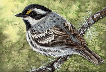 Black-throated Grey Warbler Card by Sidonie