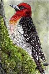 Red-Breasted Sapsucker by Sidonie