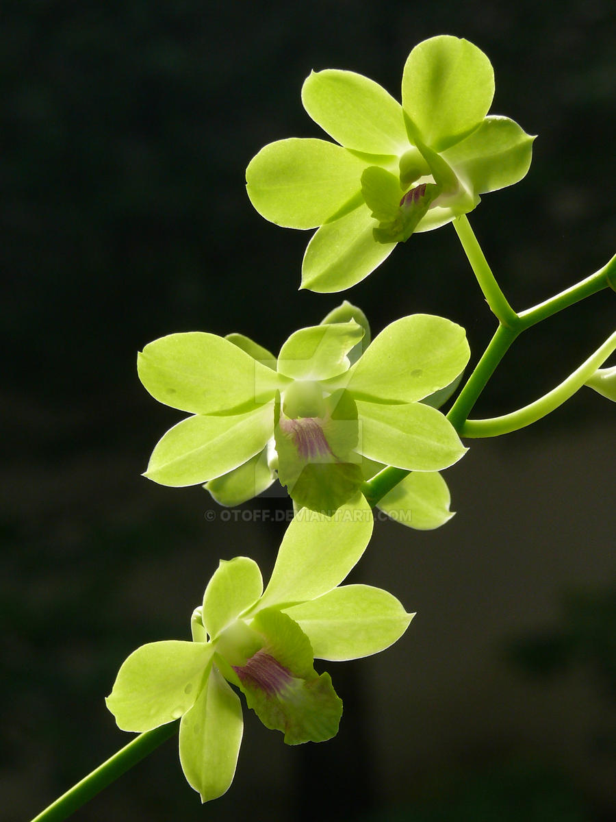 My Orchid28 by Otoff
