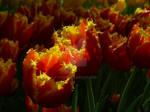 Tulips26