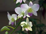 My Orchid36