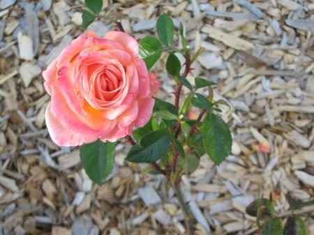 Rose by JLAT1990