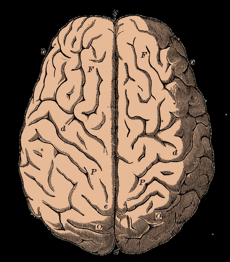 Brain by bsp2232