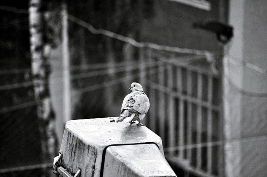 Porumbelul by BeatitudineEfemera