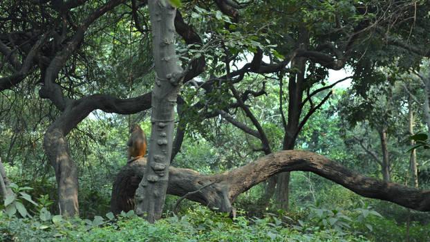 India forest Hanuman